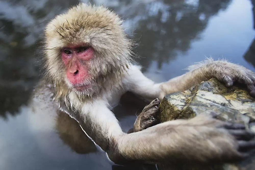 A snow monkey sitting in a steamy hotspring