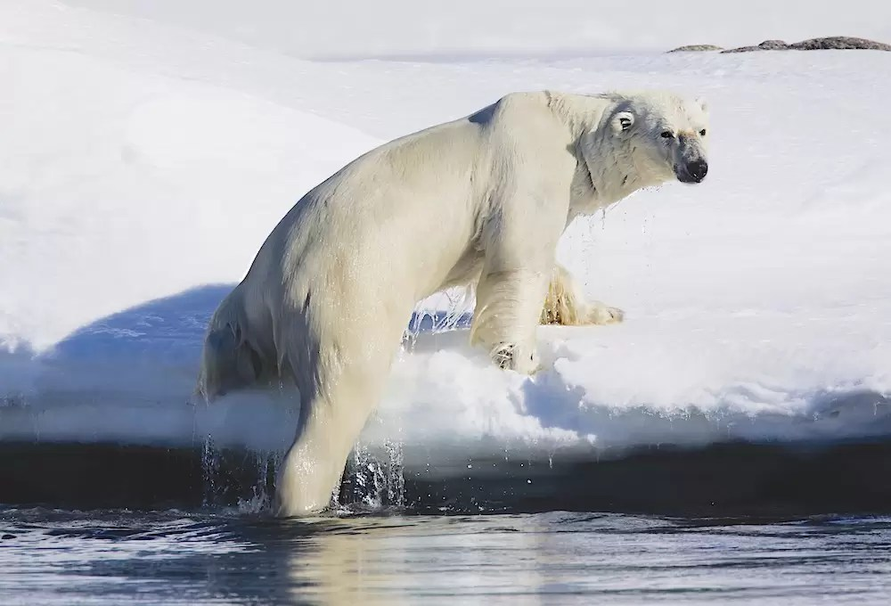 A polar bear climbs out of the water up on to a snowy bank