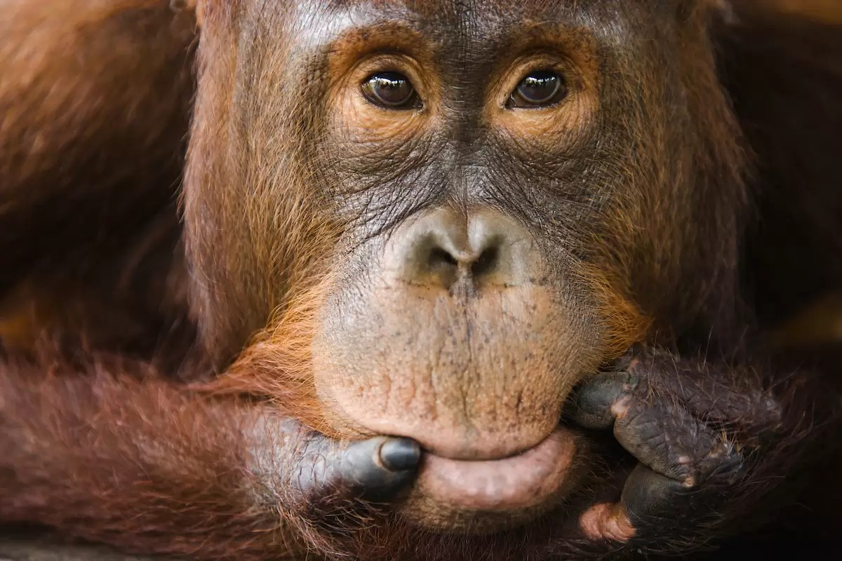 Sub adult male orangutan