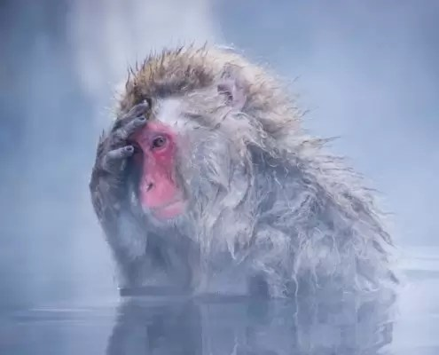 Snow monkey in hotspring
