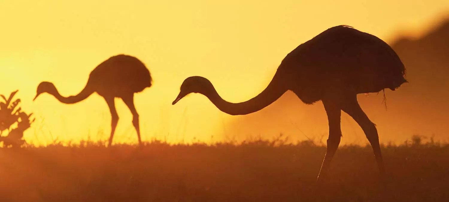 Greater Rheas Grazing at Sunrise