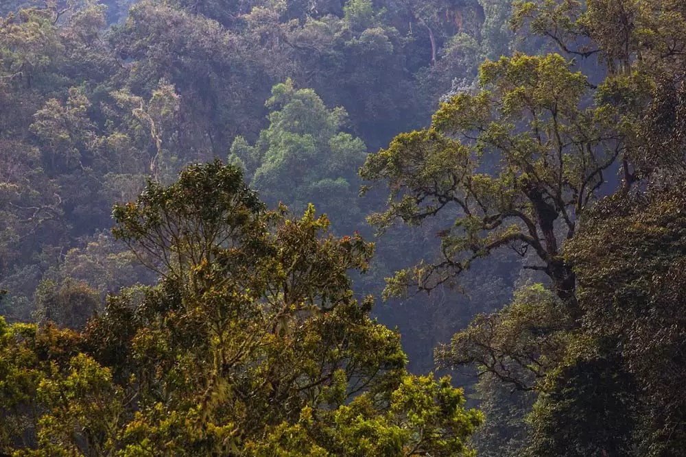 The thick canopy of trees in Bwindi Impenetrable Forest