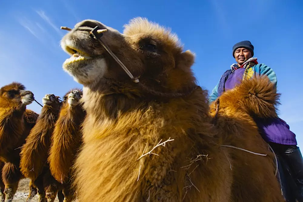 A Mongolian herder sitting on his Bactrian camel