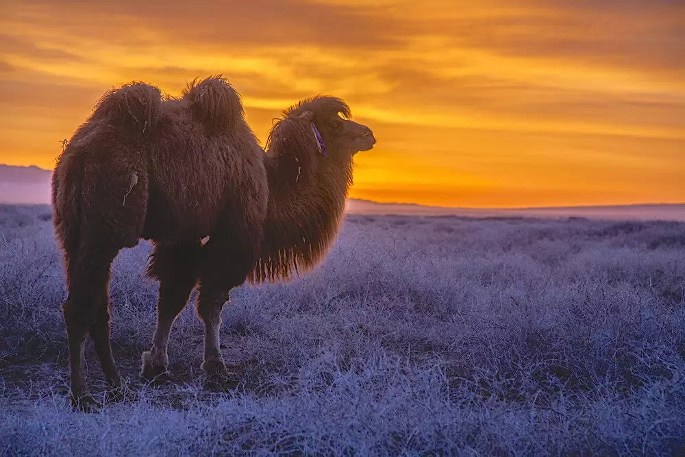A Bactrian camel at sunset standing in vegetation covered with hoar frost
