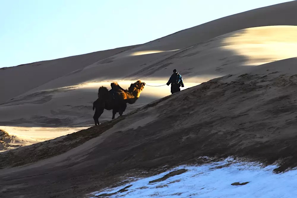A Mongolian herder leading his Bactrian camel up a steep sand dune at dusk