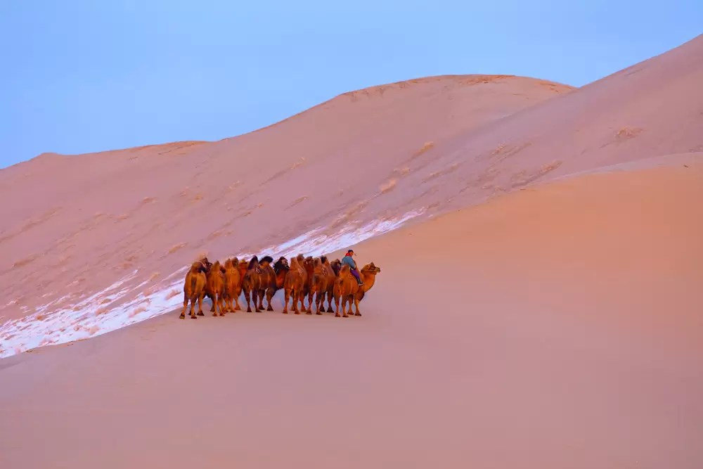 A Mongolian herder leading his herd of Bactrian camels down a steep sand dune at dusk