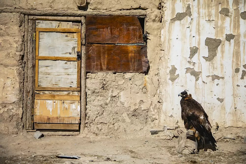 A golden eagle belonging to a Mongolian eagle hunter perched on a log wearing its hood in front of a traditional building