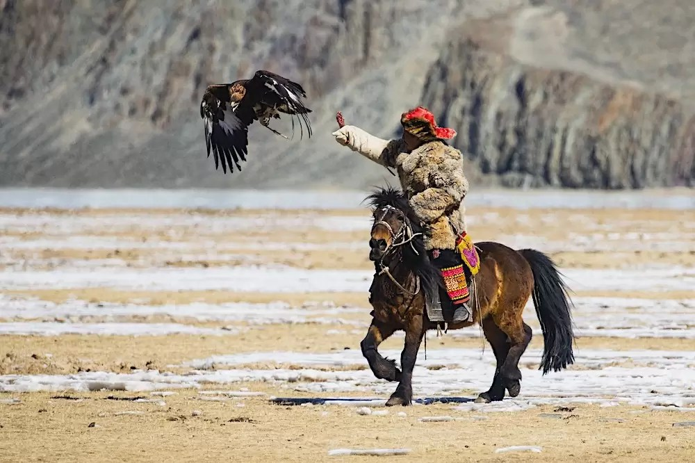 A golden eagle is being called by her hunter to land on his arm while he's riding on horseback