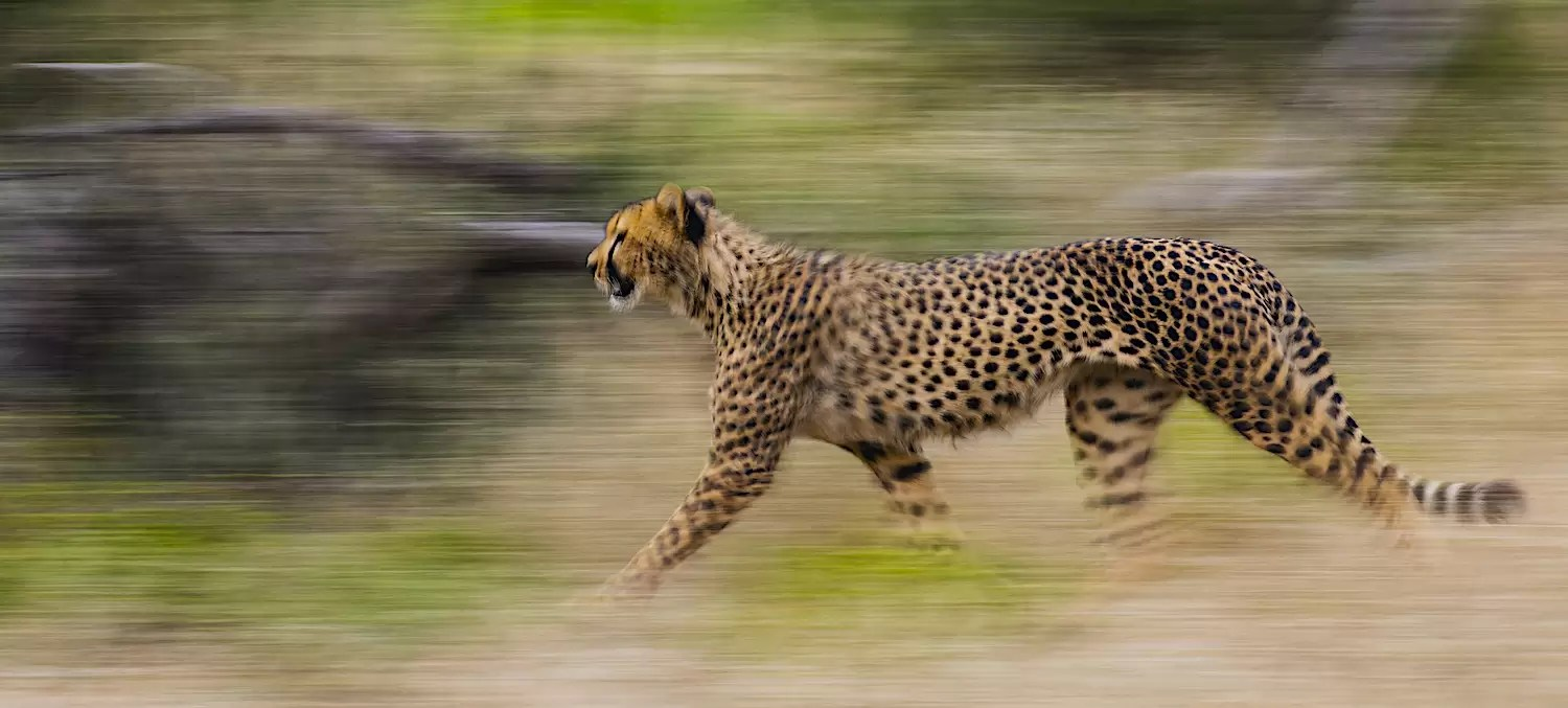 A cheetah on the move, motion blur