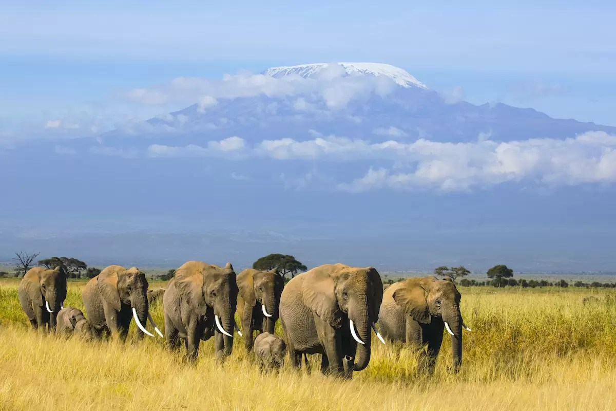 A breeding herd of elephants walking beneath snow covered Mount Kilimanjaro