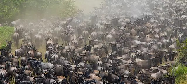 Wildebeest gathering before crossing a crocodile infested river during the great migration