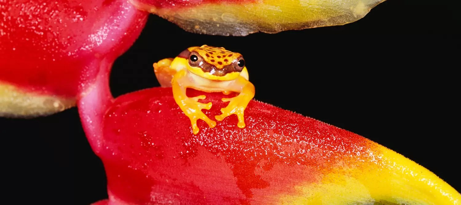Red-skirted Tree Frog on Lobster Claw Heliconia