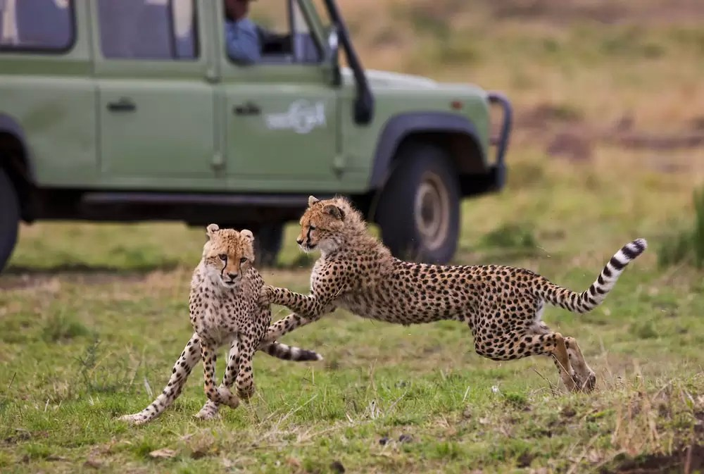 Cheetahs playing