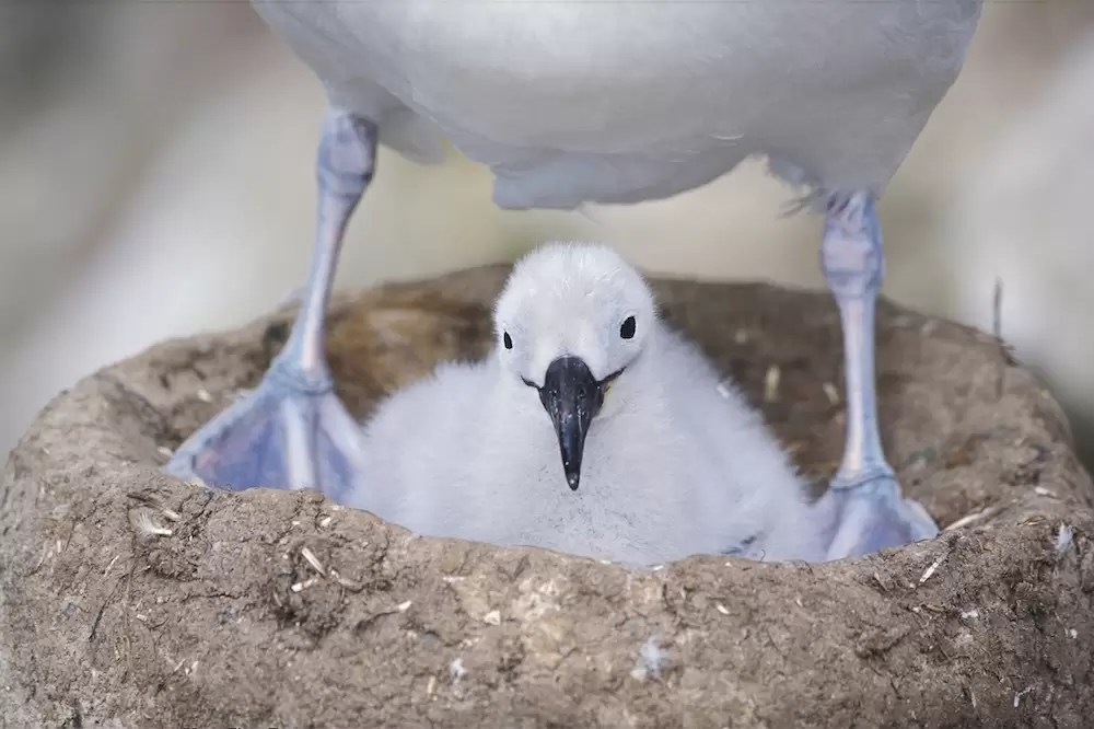 Black-browed albatros, chick sitting underneath mother