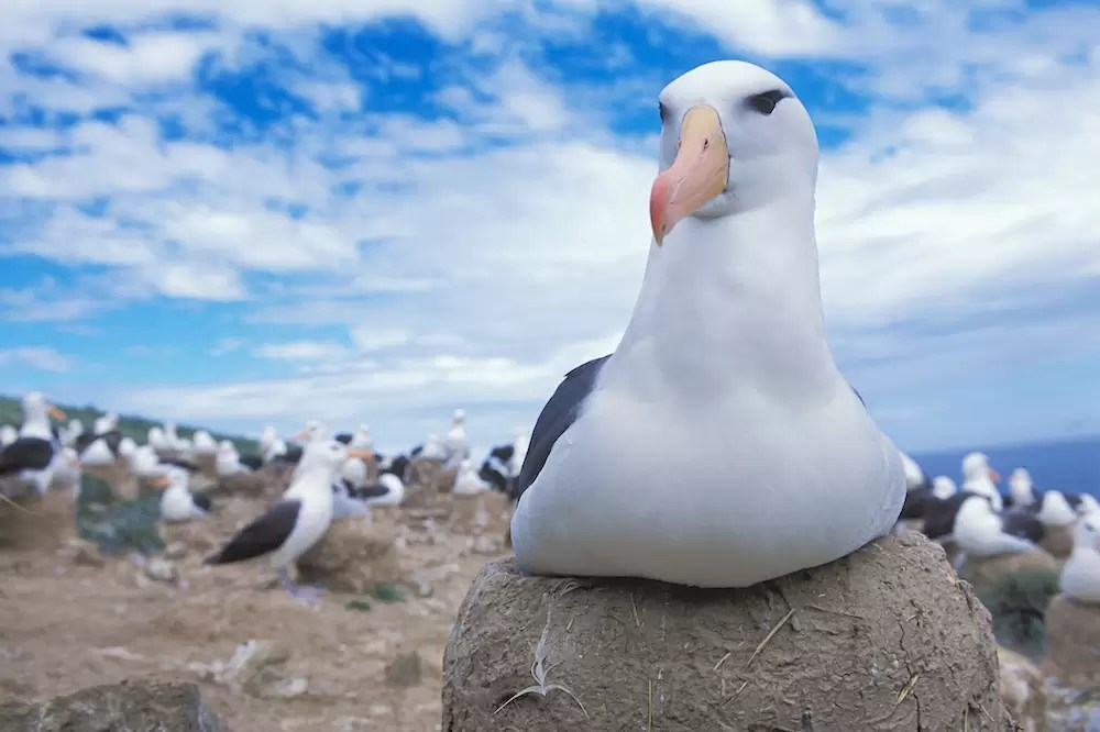 Black-browed albatross sitting on nest