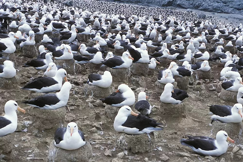 Black-browed albatross nesting colony