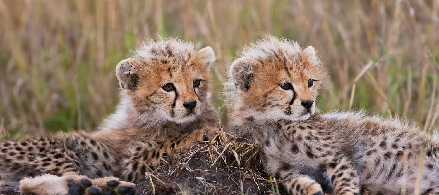 Female cheetah and her cubs