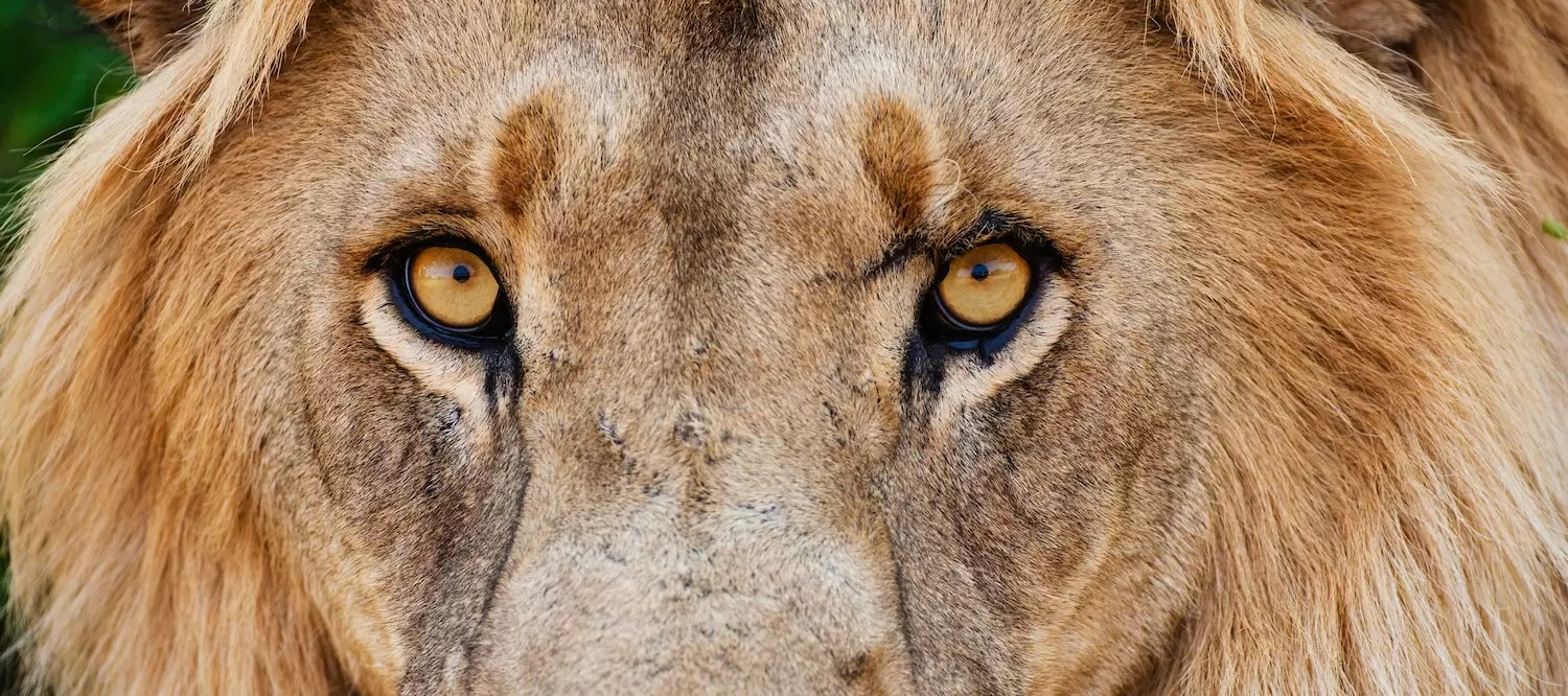 A close-up of a face of a male lion
