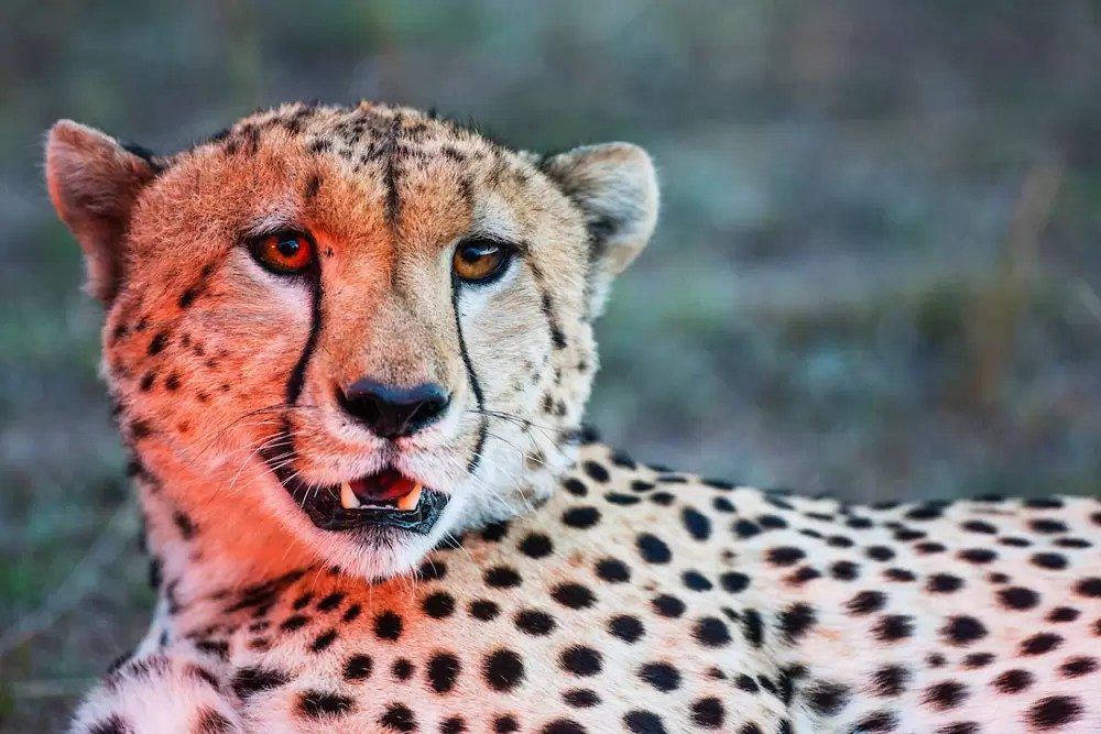 A male cheetah shows off his teeth