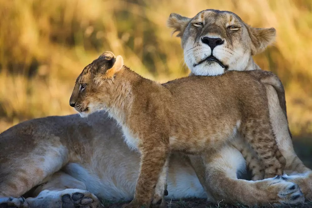 A female lion and her cub bonding and showing affection