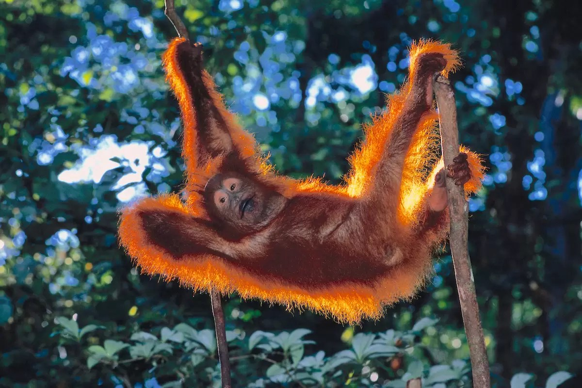 Juvenile Orangutan in Tree