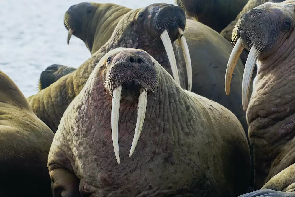 Males walruses displaying in a colony haul-out