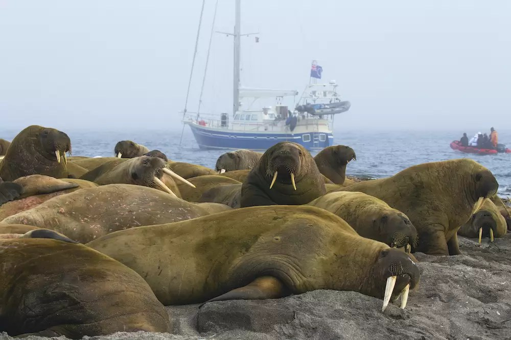 A zodiac drives behind a large colony of walruses resting on shore to a small sailboat.