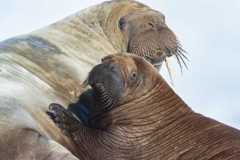 A walrus female and her young on an ice floe