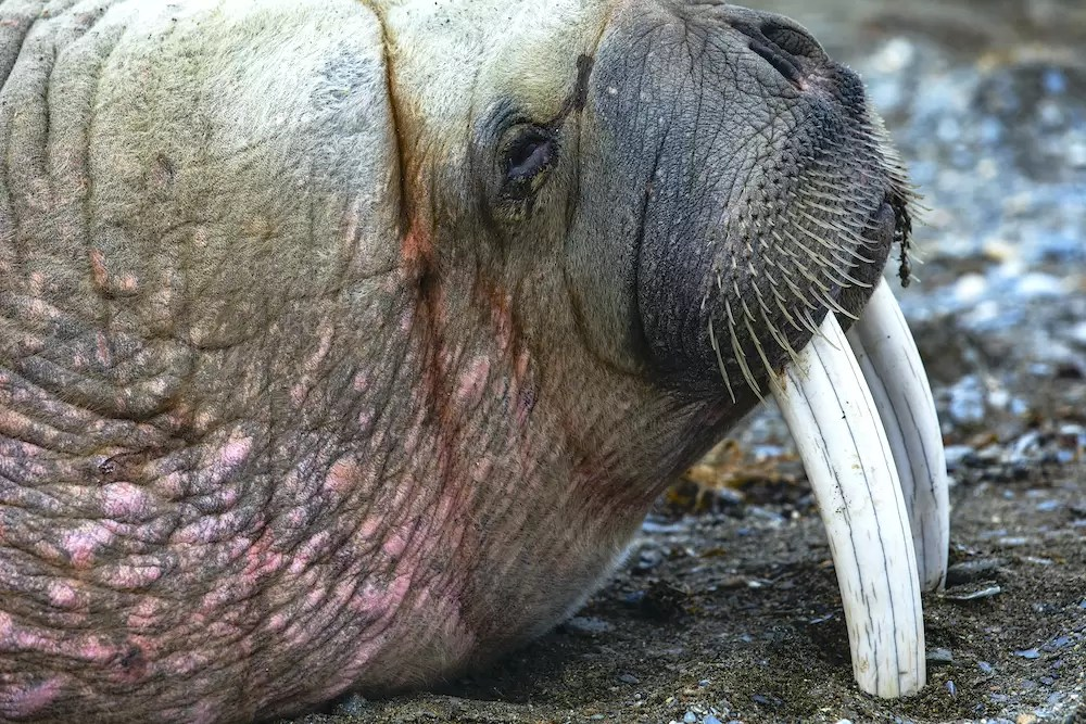 Portrait of an old bull walrus resting on his teeth, tooth walker