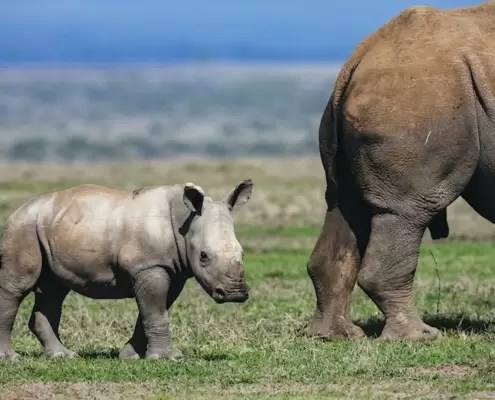 A small white rhino calf behind its mother