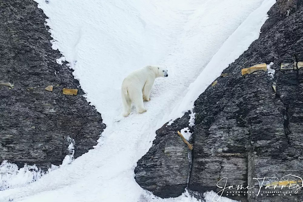 Polar bear climbing up steep narrow canyon