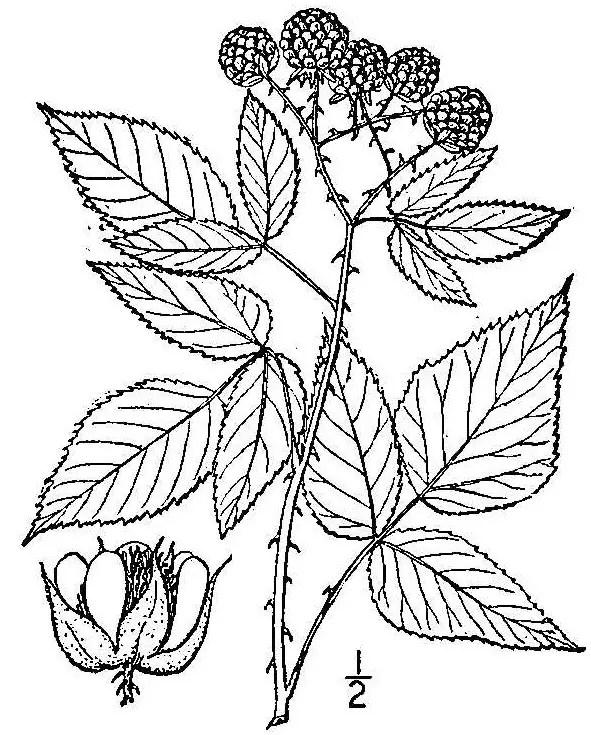 Rubus (Raspberries, Blackberries, Dewberries & others