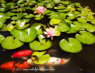 Koi fish and lilies in the ponds at Botanical Gardens