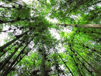 Looking up in Bamboo forest in the mountains of Rwanda