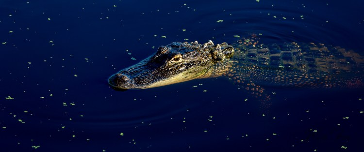 Alligator floating on the surface near Palmetto Bluff, South Carolina