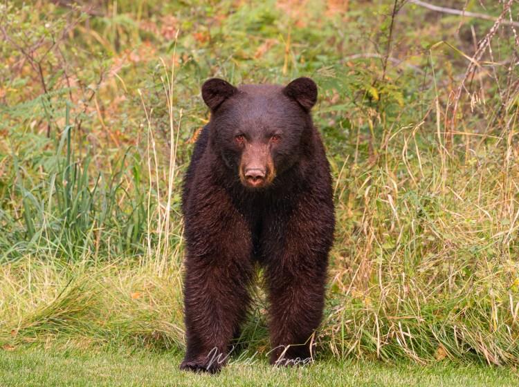 Black Bear Montana