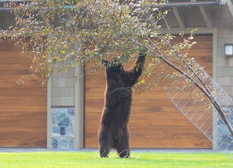 Black bear eating apples