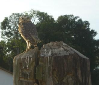 Invasive burrowing owl