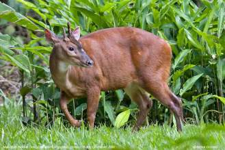 Red-brocket deer