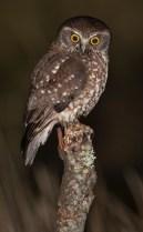 owl Southern Boobook 3 aug 8
