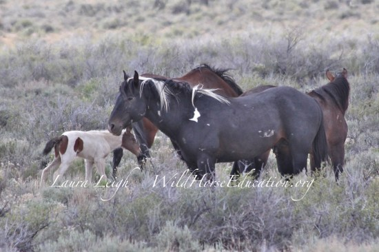 New life at Sheldon NWR... in summer 2014. The band was captured during the roundup, without the baby.