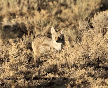 Wyoming Coyote WM - Copy