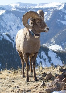 A collared Bighorn Ram in the Lostine Wildlife Area. Photo by Nick Myatt. (Note this is not the ram that was poached.)
