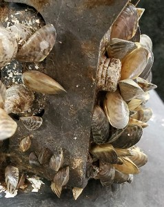 Zebra mussels intercepted on a vessel's hose system decontaminated at the Ontario check station on Feb. 7, 2021.