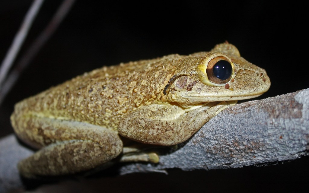 Invasive Cuban treefrogs found in plants shipped to Oregon