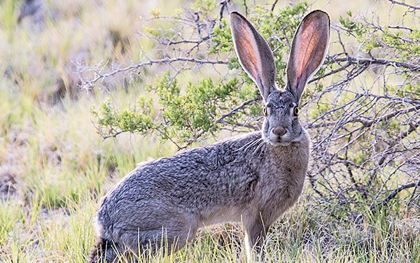 Deadly virus confirmed in a wild rabbit in Lake County – RHDV2 poses no human health risk
