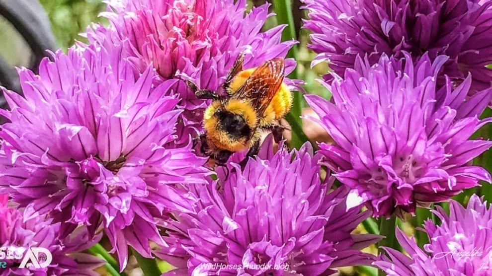 VIDEO: Bumblebees in June