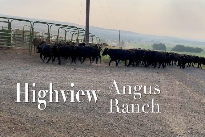 VIDEO: Bringing home the cows and calves