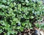 Vaccinium Myrtillus fruit