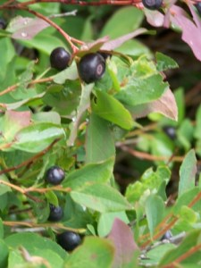 Fun Facts About Huckleberries